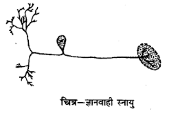 UP Board Solutions for Class 12 Psychology Chapter 1 Neuron, Synapse and Nerve Impulse 3