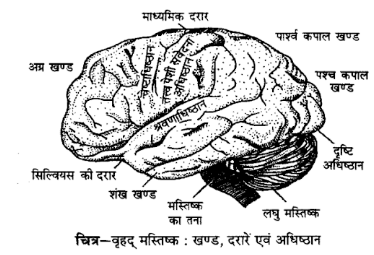 UP Board Solutions for Class 12 Psychology Chapter 2 Nervous System 1