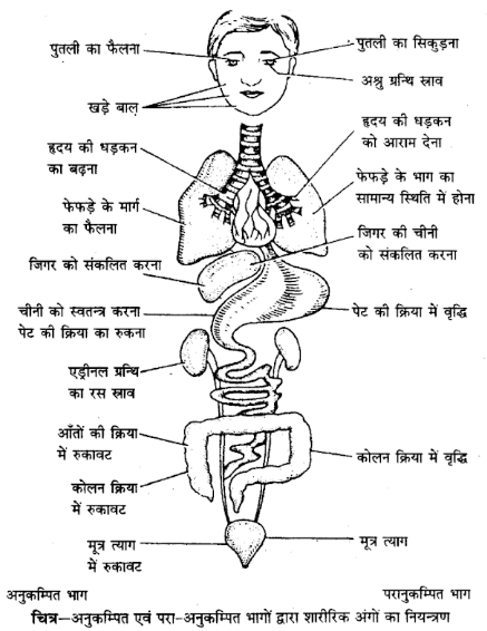 UP Board Solutions for Class 12 Psychology Chapter 2 Nervous System 2