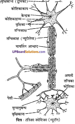 UP Board Solutions for Class 10 Science Chapter 7 Control and Coordination img-6