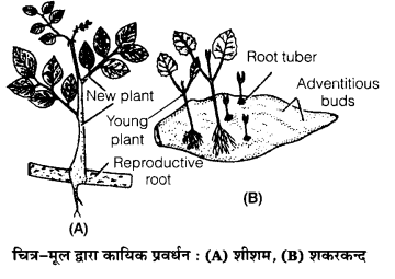 UP Board Solutions for Class 12 Biology Chapter 1 Reproduction in Organisms img-6