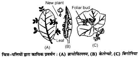 UP Board Solutions for Class 12 Biology Chapter 1 Reproduction in Organisms img-7