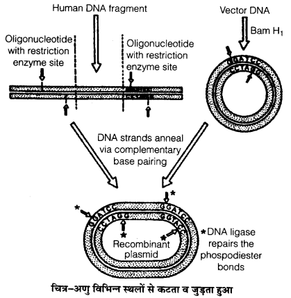 UP Board Solutions for Class 12 BiologyChapter 12 Biotechnology and its Applications img-2