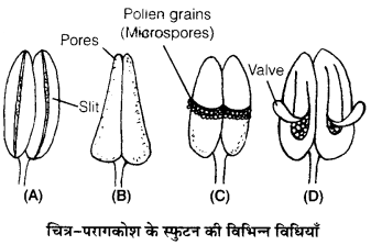 UP Board Solutions for Class 12 BiologyChapter 2 Sexual Reproduction in Flowering Plants img-14