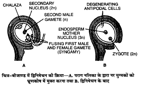 UP Board Solutions for Class 12 BiologyChapter 2 Sexual Reproduction in Flowering Plants img-17