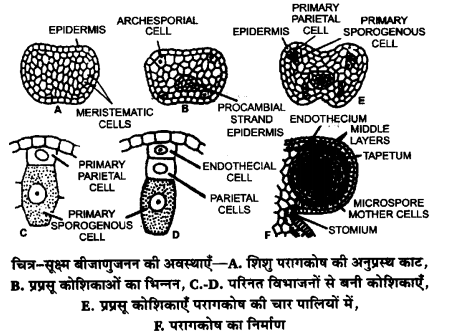 UP Board Solutions for Class 12 BiologyChapter 2 Sexual Reproduction in Flowering Plants img-19
