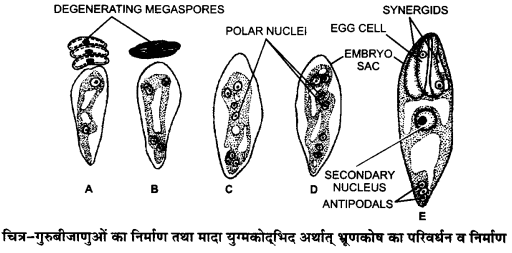 UP Board Solutions for Class 12 BiologyChapter 2 Sexual Reproduction in Flowering Plants img-21