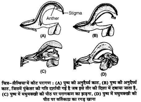 UP Board Solutions for Class 12 BiologyChapter 2 Sexual Reproduction in Flowering Plants img-22