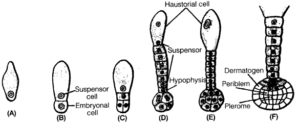 UP Board Solutions for Class 12 BiologyChapter 2 Sexual Reproduction in Flowering Plants img-23