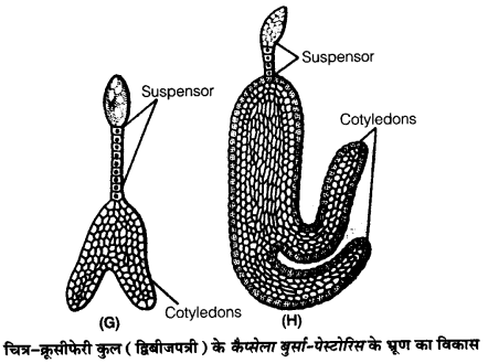 UP Board Solutions for Class 12 BiologyChapter 2 Sexual Reproduction in Flowering Plants img-24