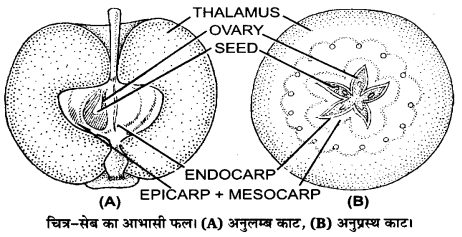 UP Board Solutions for Class 12 BiologyChapter 2 Sexual Reproduction in Flowering Plants img-9