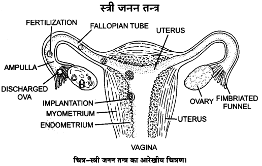 UP Board Solutions for Class 12 BiologyChapter 3 Human Reproduction img-2