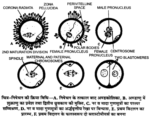 UP Board Solutions for Class 12 BiologyChapter 3 Human Reproduction img-8