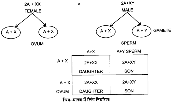UP Board Solutions for Class 12 BiologyChapter 5 Principles of Inheritance and Variation img-10