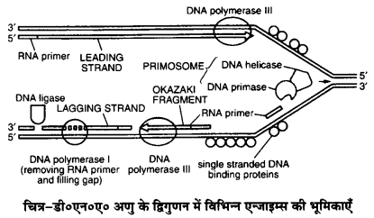UP Board Solutions for Class 12 Biology Chapter 6 Molecular Basis of Inheritance img-13