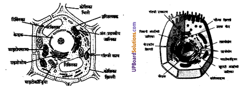 UP Board Solutions for Class 8 Science Chapter 6कोशिका से अंग तंत्र तक img-5