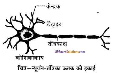 UP Board Solutions for Class 9 Science Chapter 6 Tissues image -5
